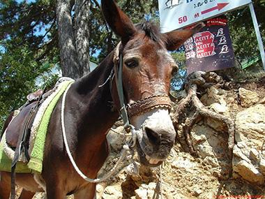 Troodos_Donkey_lrg